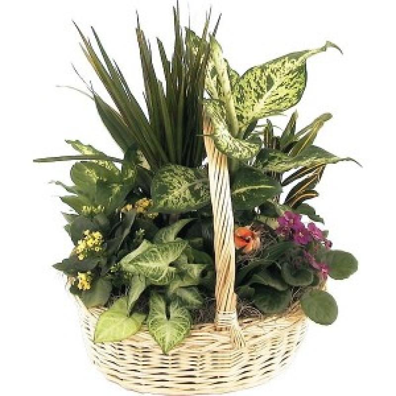 Голяма кошница със стайни растения