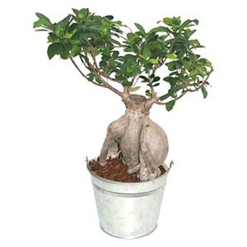 Истински Ficus Ginseng